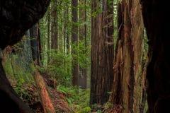 Californische sequoiabosje door een gebrande boom Royalty-vrije Stock Foto