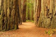Californische sequoiareuzen Royalty-vrije Stock Foto's