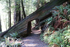 Californische sequoiasleutelgat Stock Afbeeldingen