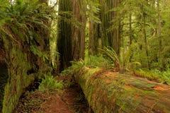 Californische sequoiaweg Royalty-vrije Stock Fotografie