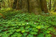 Californische sequoiazuring Stock Foto's