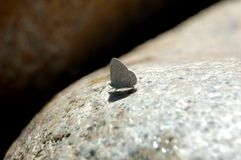Californische Vlinder Stock Afbeeldingen