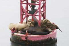 Californische zeeleeuw, de Zeeleeuw van Californië, Zalophus Californië stock foto's