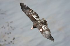 Californischecondor; Californische Condor; Gymnogypscalifornianu royalty-vrije stock afbeelding