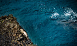 Califórnia Marine Wildlife Harbor Seals Fotografia de Stock Royalty Free