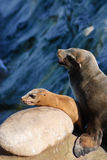 Califrnia Sea lions. A Pair of Sea Lions contemplate their next move Stock Photos