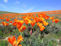 Califronia poppies 1 Royalty Free Stock Photography