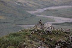 Caligata del Marmota della marmotta con i capelli bianchi Fotografie Stock