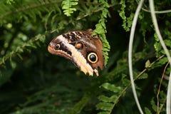 Caligo或猫头鹰蝴蝶 免版税库存图片
