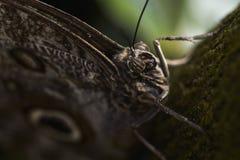 Caligo atreus鳞翅类(蝴蝶) 免版税图库摄影