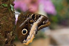 Caligo atreus. Yellow-Edged Giant-Owl butterfly resting on a palm tree Stock Photo