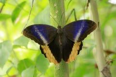 Caligo atreus, ostrząca gigantyczna sowa, motyli odpoczywać z op Zdjęcie Stock