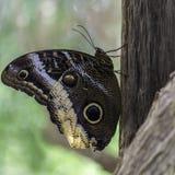 Caligo atreus - Wspaniały sowa motyl zdjęcia royalty free