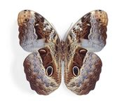 Caligo beltrao (underside) Stock Images