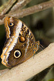 Caligo eurilochus. Is an owl butterfly and has huge eyespots, which resemble owls' eyes royalty free stock photos
