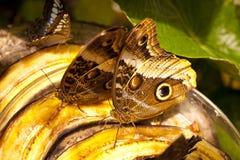 Caligo eurilochus 库存图片