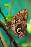 Caligo eurilochus butterfly, also known as the forest giant owl, rests on a branch. royalty free stock photo