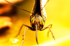 Caligo Eurilochus Close Up Stock Photo