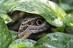 Caligo-eurilochus, die Waldriesige Eule, stockfoto