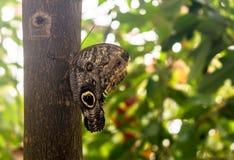 Caligo-eurilochus die Waldriesige Eule, sitzend auf dem Baum, ventrale Ansicht Eulenschmetterlinge, die Klasse Caligo-Dunkelheit, stockfoto
