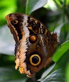 Caligo eurilochus, forest giant owl butterfly on green leaf. Caligo eurilochus,forest giant owl, or owl butterfly with patterned wings, on green leaf, macro stock images