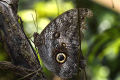 Caligo eurilochus - The forest giant owl. Butterfly Royalty Free Stock Images