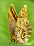 Caligo eurilochus - owl butterfly Royalty Free Stock Image