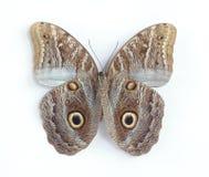 Caligo illioneus (underside) Stock Photo