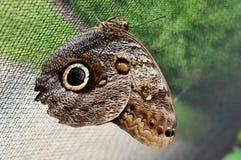 Caligo memnon Giant Owl Royalty Free Stock Photo