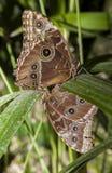 Caligo Memnon mating Stock Photos