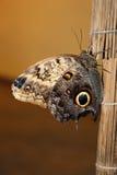 Caligo Memnon, Owl Royalty Free Stock Photography