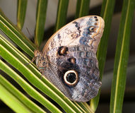 Caligo memnon - tropical butterfly Stock Photography