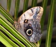 Caligo memnon - tropical butterfly Stock Photography