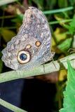 Caligo Oileus Butterfly Stock Photos