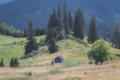 Calimani National Park - 12 Apostles. Cattle grazing on the mountain meadows of Bucovina Stock Photo