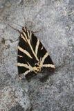 Calimorfa ( Euplagia quadripunctaria ) Royalty Free Stock Image