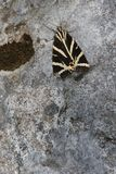 Calimorfa ( Euplagia quadripunctaria ) Royalty Free Stock Photography