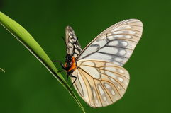 Calinaga davidis /butterfly Royalty Free Stock Images