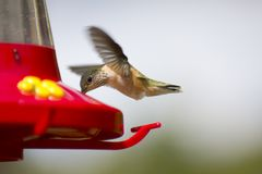 Caliope Hummingbird at feeder Royalty Free Stock Photo