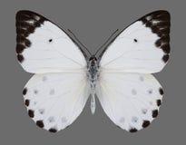 Calipso Calypso Caper White de Belenois de la mariposa Imágenes de archivo libres de regalías