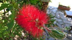 Calistemo κόκκινο λουλουδιών Στοκ Εικόνες