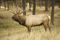 Call of a big Elk Royalty Free Stock Photography