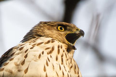 Call of Cooper's hawk Royalty Free Stock Photography