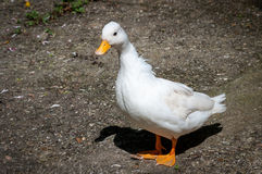 Call duck. Single white call duck looking at camera. Semi-profile. Call ducks were used by hunters as decoys because their quacking attracted other ducks in to Royalty Free Stock Images