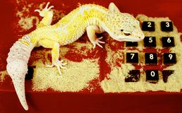 Call me (2). Yellow lizard on the old phone Stock Image