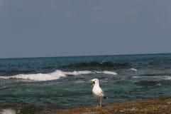 Call seagull Stock Photos