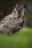 Call Of The Wild. Closeup of an angry Great Horned Owl against a blurred background Royalty Free Stock Images