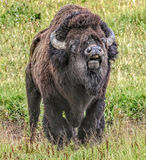 Call of The Wild. This bison bull was grunting his displeasure with the younger bulls that were near his harem Stock Photos