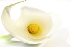 calla ανασκόπησης κρίνος Στοκ Εικόνες