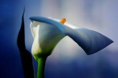 calla κάμπτει το κομψό λευκό Στοκ φωτογραφία με δικαίωμα ελεύθερης χρήσης